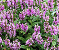 Catmint Pink Cat Nepeta Nervosa Seeds