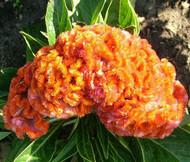 Cockscomb Orange Dwarf Celosia Cristata Nana Jessica Seeds