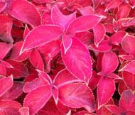 Coleus Jazz Ruby Solenostemon Scutellarioides Seeds