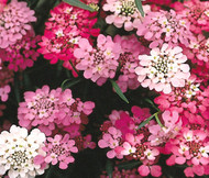 Candytuft Tall Iberis Umbellata Seeds