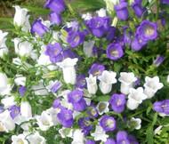 Canterbury Bells Cup and Saucer Mix Campanula Medium Seeds