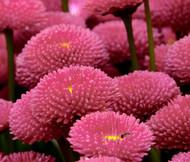 English Daisy Rose Bellis Perennis Super Enorma Seeds