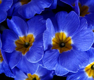 Primrose English Accord Blue Primula Vulgaris Seeds