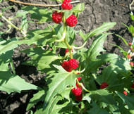 Spinach Strawberry Sticks Chenopodium Foliosum Seeds
