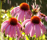 Coneflower Purple Echinacea Purpurea Seeds