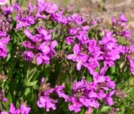 Arabis Wall Rock Cress Spring Charm Arabis Blepharophylla Seeds