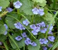 Ground Ivy Glechoma Hederacea Seeds