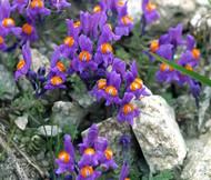Alpine Toadflax Linaria Alpina Seeds