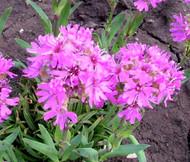 Lychnis Alpine Catchfly Lychnis Alpina Seeds