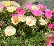 Moss Rose Mix Portulaca Grandiflora Seeds