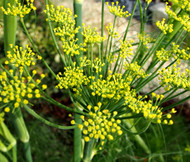 Fennel Florence Organic Anise Foeniculum Vulgare Seeds