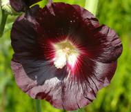 Hollyhock Nigra Alcea Rosea Seeds