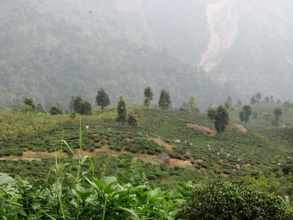 Makaibari Tea Estate