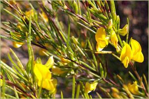 Rooibos Flowering Plant