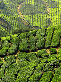 Tea fields in Southeast Asia