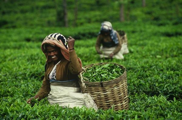 Fair Trade Tea Plucker