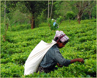 Arbor Teas Sustainability