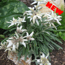 Alpine Edelweiss Plant USA shipping