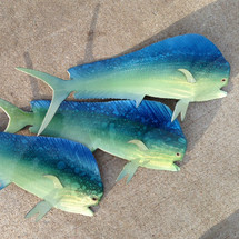 "30"" Mahi Mahi - Custom Fish Sculpture"