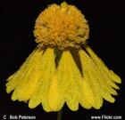 Helenium amarum-Yellow Sneezeweed, Bitterweed