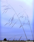 Aristida patula-Tall Threeawn