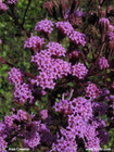 Carphephorus odoratissimus var. subtropicanus - Pineland Purple, False Vanillaleaf