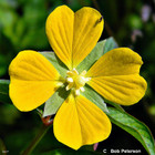 Ludwigia octovalvis, Mexican Primrose-willow