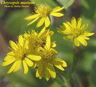 Chrysopsis mariana - Maryland Goldenaster