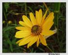 Helianthus angustifolius - Swamp Sunflower, Narrowleaf Sunflower
