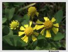 Helenium autumnale - Common Sneezeweed