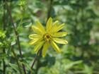 Silphium asteriscus - StarryRosinweed