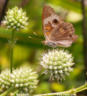 Eryngium yuccifolium - RattlesnakeMaster