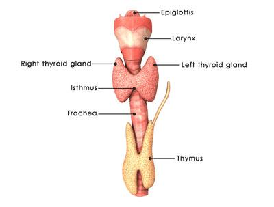 What Is Hypothyroidism Meditrend Inc