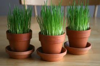 "Luc's Organic Wheat Grass Growing Kits - Two 4"" kits"
