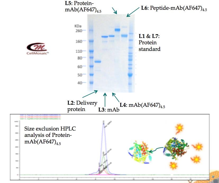 odc-example-1-antibodyproteindye-.jpg