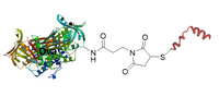 Ova peptide conjugates