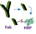 Fab—HRP conjugate