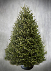 Fralsam™  Fir Christmas Trees - Sizes 3 to 9 feet