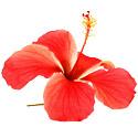 ing-hibiscus.jpg
