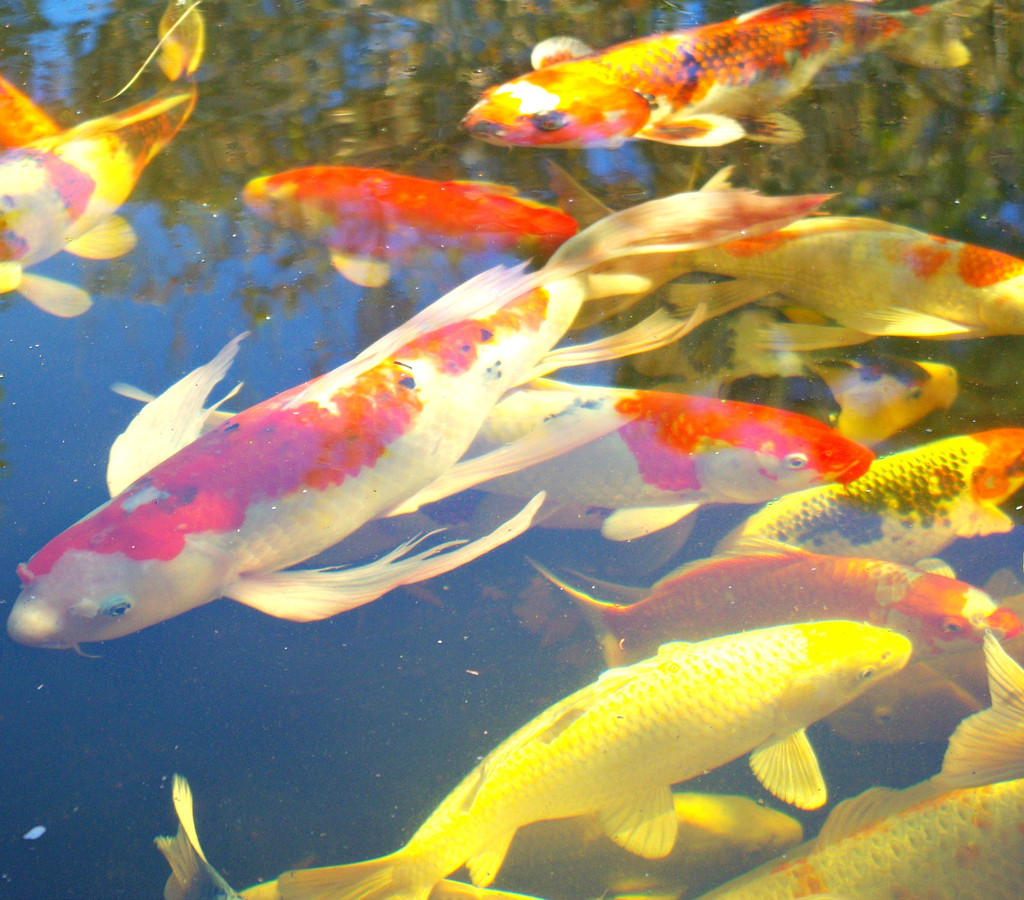 Which koi food, why, when & how much?