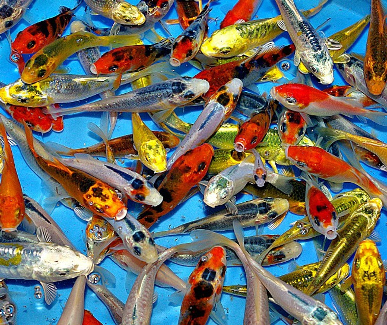 Koi Kujaku Windsor Fish Hatchery Online