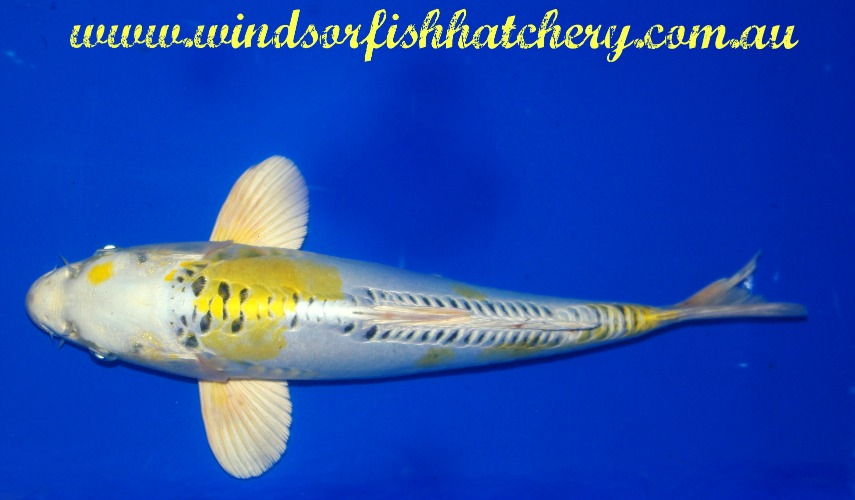 Recognizing the potential of your koi windsor fish for Koi fish hatchery