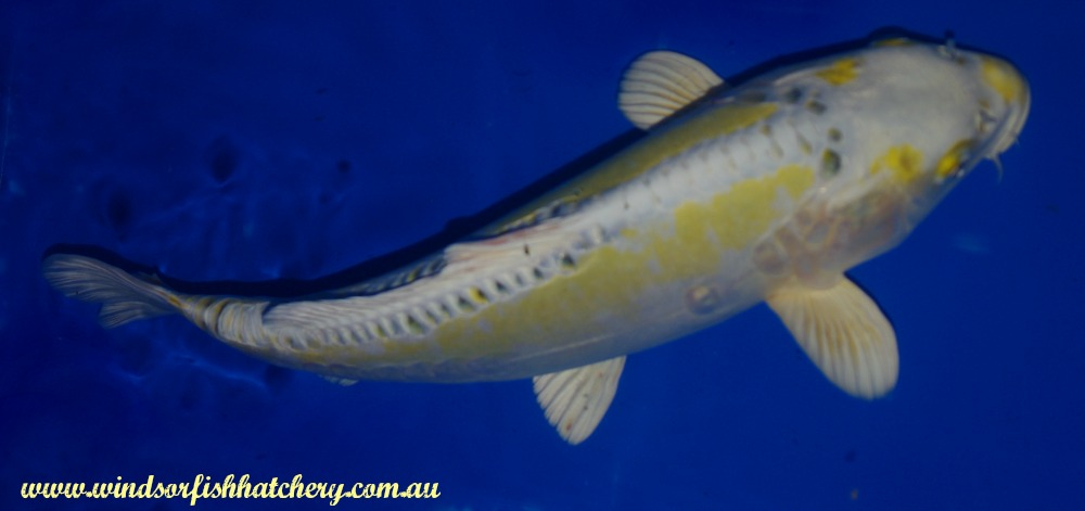 Recognizing The Potential Of Your Koi Windsor Fish