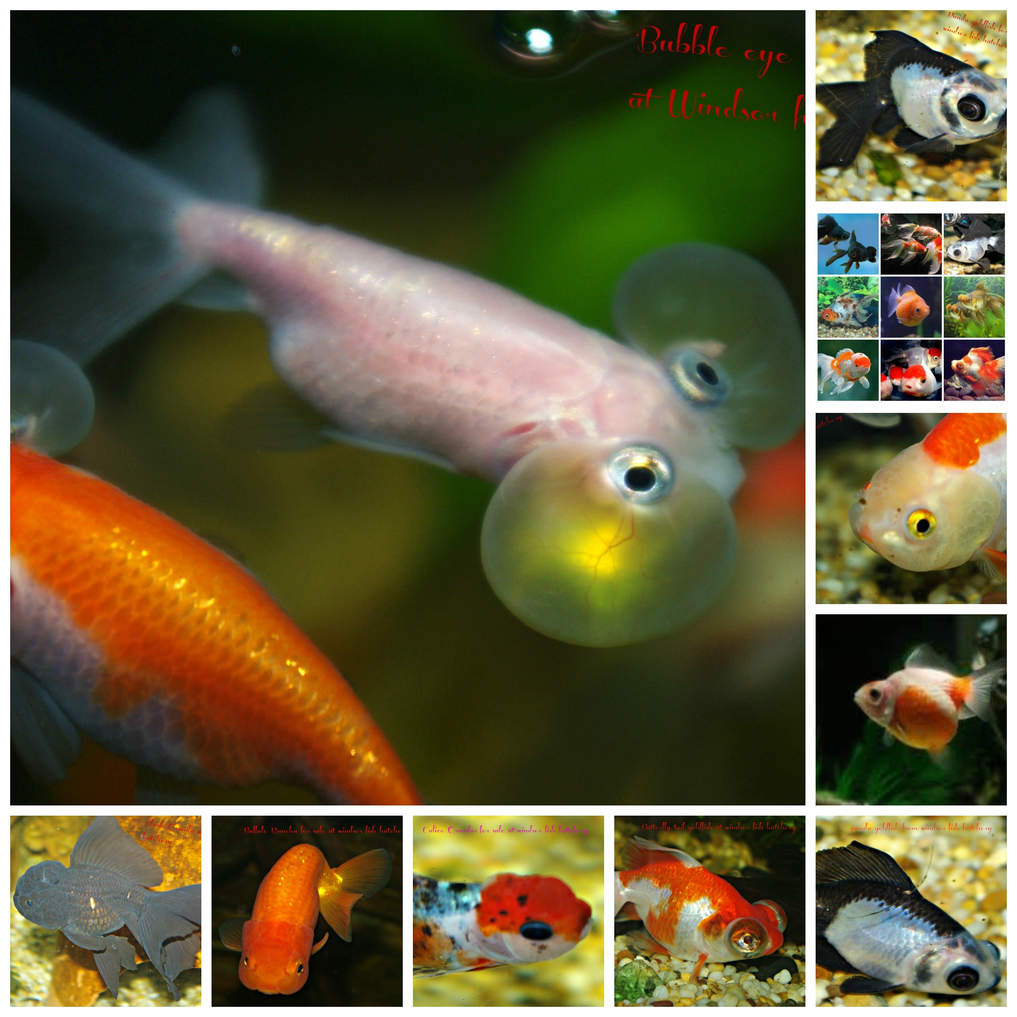 a-goldfish-for-sale-at-windosor-fish-hatchery-collage-feb-7.jpg