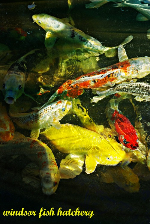 The Koi Fish Legend Windsor Fish Hatchery Online
