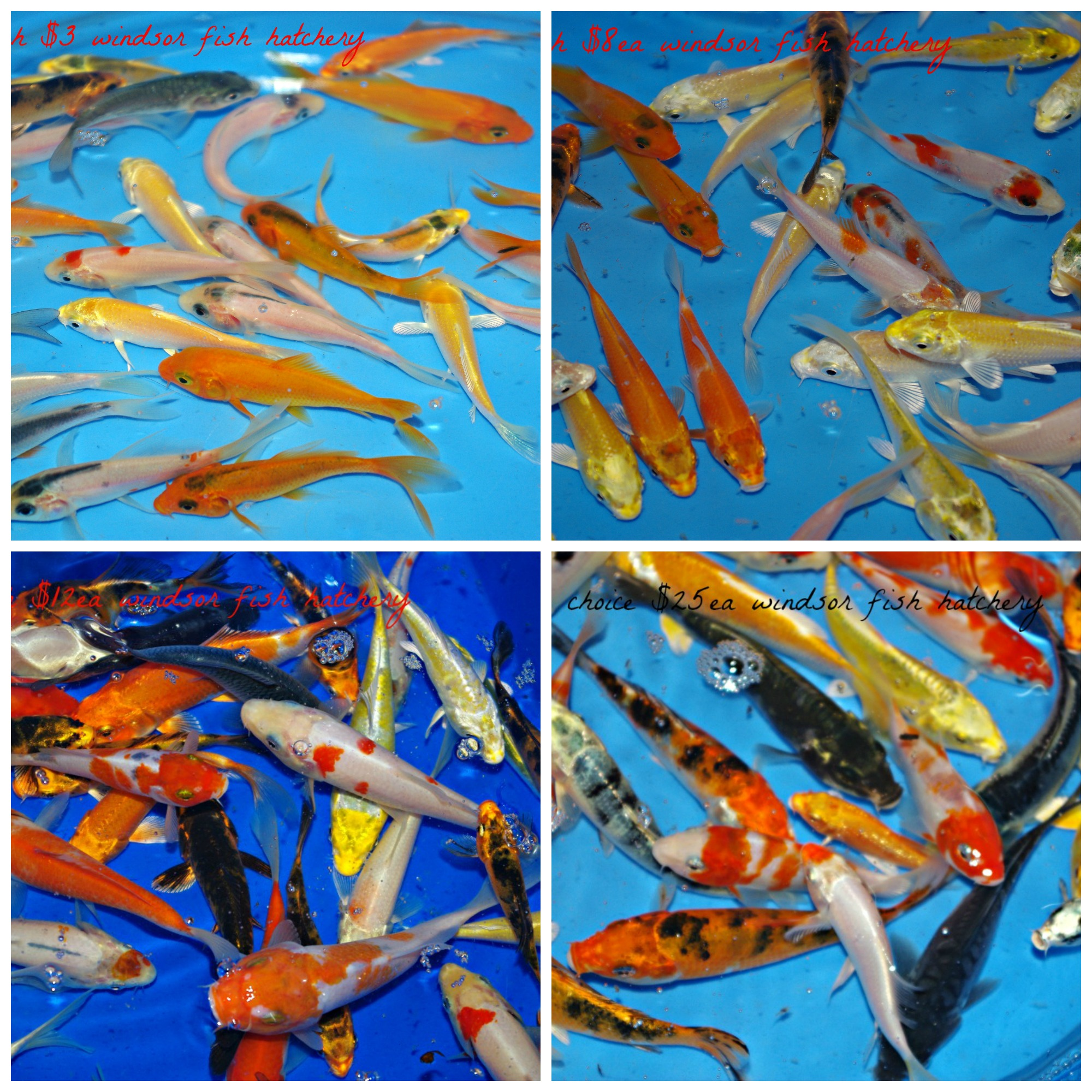 koi-sale-for-march-at-windsor-fish-hatchery-collage.jpg