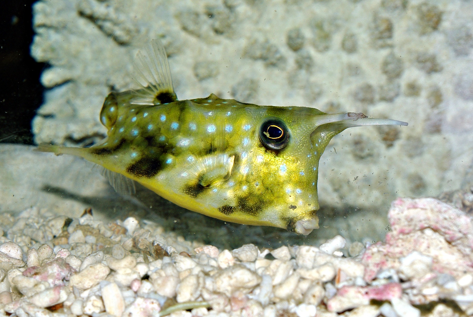 marine-long-horn-cow-fish.jpg