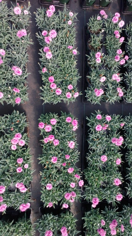 dianthus-pop-star-.jpg