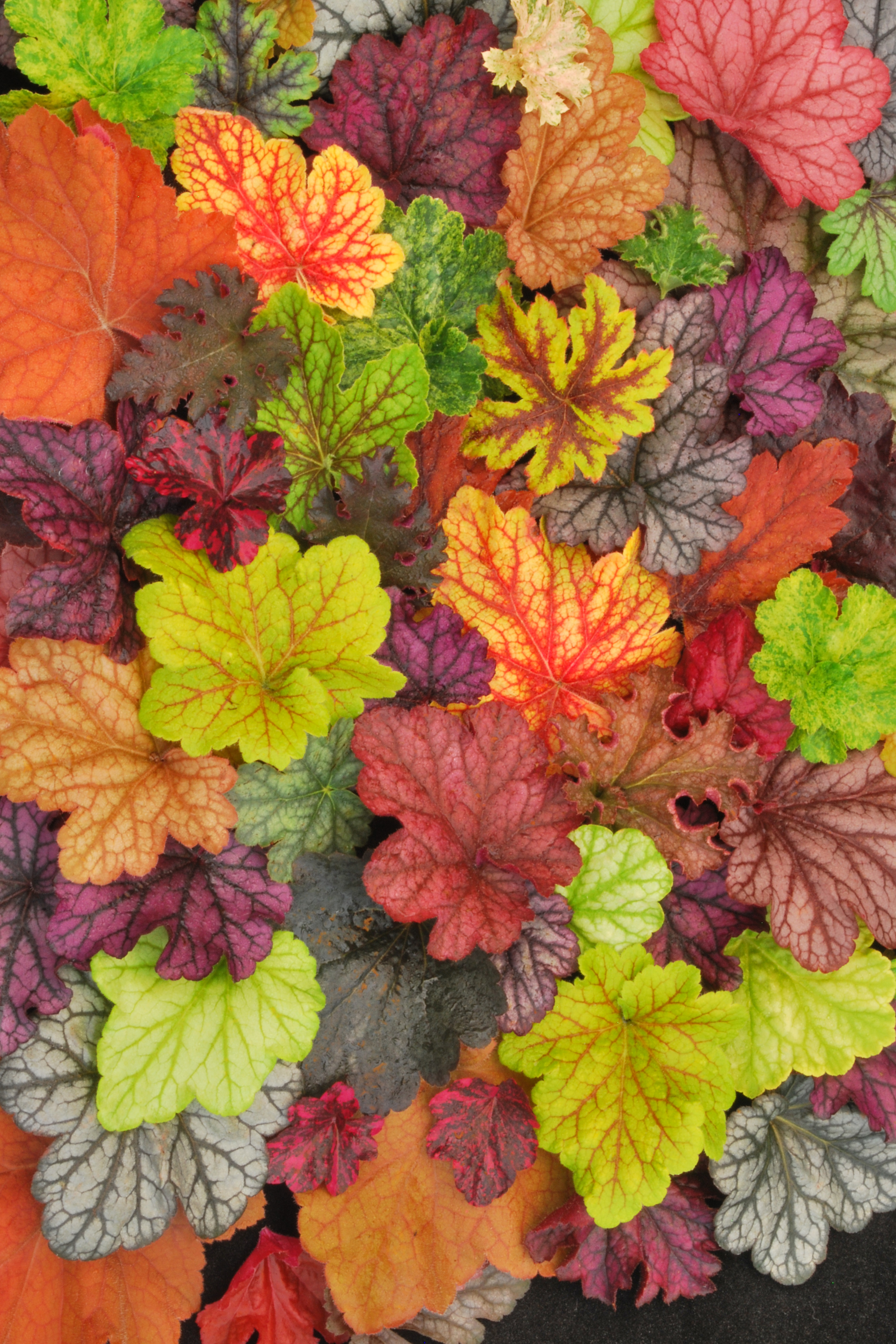 heuchera-heucherella-collage-1b.jpg