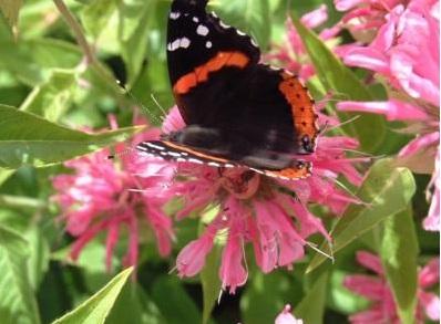 monarda-butterfly